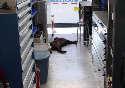 Bear supervising?